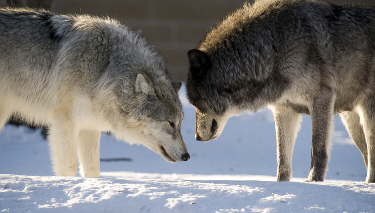 Two Wolves Fighting